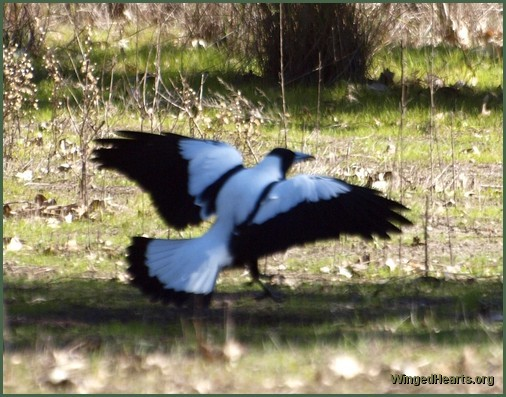 white backed magpie (wampie)
