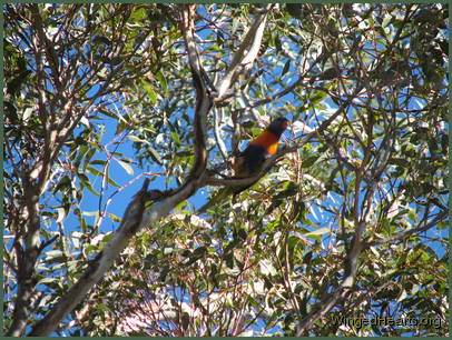 Rainbow lorikeet looking through the trees