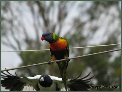 Rainbow lorikeet and australain pied-butcherbird
