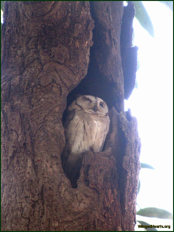 collared scops owl at Ranthambore National Park