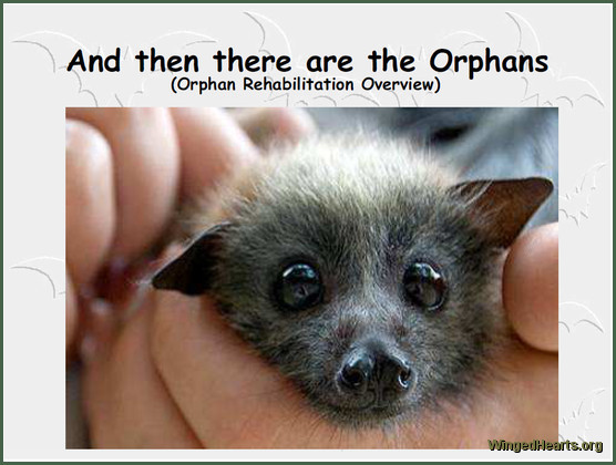 flying fox rescue and Rehabilitation
