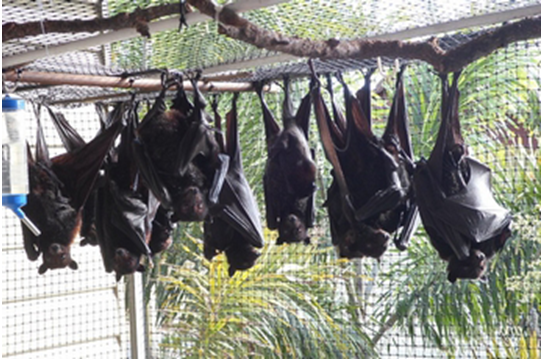 ready for release - flying foxes in a creche